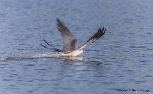 4603 Swallow-tailed Kite (Elanoides forficatus), Florida