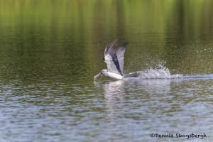 4604 Swallow-tailed Kite (Elanoides forficatus), Florida