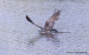 4605 Swallow-tailed Kite (Elanoides forficatus), Florida