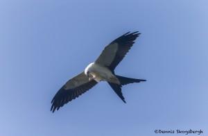 4608 Swallow-tailed Kite (Elanoides forficatus), Florida