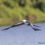 4610 Swallow-tailed Kite (Elanoides forficatus), Florida