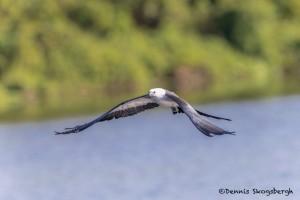 4610 Swallow-tailed Kite (Elanoides forficatus), Florida