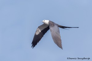 4611 Swallow-tailed Kite (Elanoides forficatus), Florida