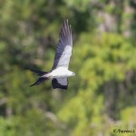 4612 Swallow-tailed Kite (Elanoides forficatus), Florida