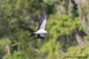 4612 Swallow-tailed Kite (Elanoides forficatus), Florida