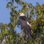 4613 Swallow-tailed Kite (Elanoides forficatus), Florida