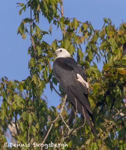 4613 Swallow-tailed Kite (Elanoides forficatus), Florida