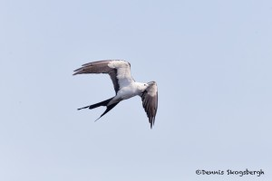 4614 Swallow-tailed Kite (Elanoides forficatus), Florida