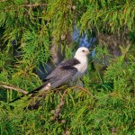 4615 Swallow-tailed Kite (Elanoides forficatus), Florida
