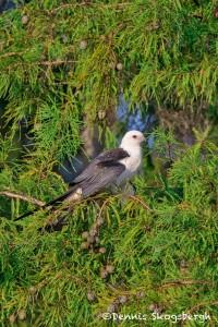 4615 Swallow-tailed Kite (Elanoides forficatus), Florida