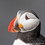 4618 Atlantic-Puffin (Fratercula-arctica) with Breeding Plumage, Latrabjarg Bird Cliffs, Iceland