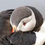 4619 Atlantic Puffin (Fratercula arctica) with Breeding Plumage, Latrabjarg Bird Cliffs, Iceland