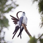 4627 Preening, Swallow-tailed Kite, FL
