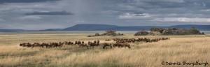 4700 Wildebeest Herd, Serengeti, Tanzania