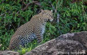4701 Leopard, Tanzania