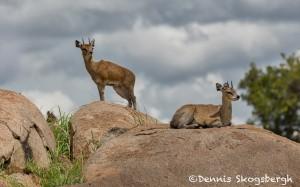 4702 Klipspringer (Oreotragus oreotragus), Tanzania