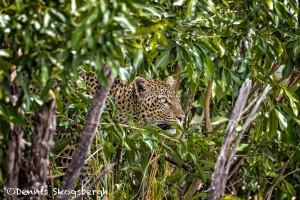 4703 Leopard, Tanzania