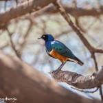 4709 Superb Starling (Lamprotornis superbus), Tanzania
