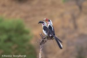 4710 Red-billed Hornbill (Tockus ruahae), Tanzania