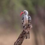 4711 Red-billed Hornbill (Tockus ruahae), Tanzania