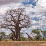 4713 Giraffe and Baobab Tree, Tarangire National Park, Tanzania