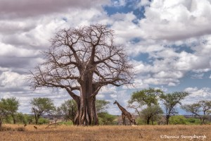 4713 Giraffe and Baobab Tree, Tarangire National Park, Tanzania