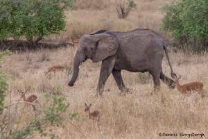 4719 African Elephant (Loxodonta africana), Tanzania