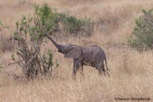 4720 Baby African Elephant (Loxodonta africana), Tanzania