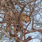 4721 Leopard (Panthera pardus), Tanzania