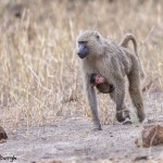 4722 Female Olive Baboon with Baby (Papio anubis), Tanzania
