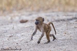 4725 Young Male Olive Baboon (Papio anubis), Tanzania