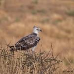 4726 Martial Eagle (Polemaetus bellicosus), Tanzania