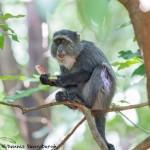 4728 Sykes Monkey (Cercopithecus albogularis), Tanzania