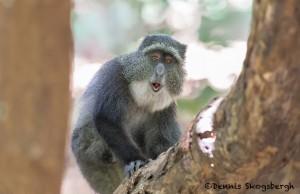 4729 Sykes Monkey (Cercopithecus albogularis), Tanzania