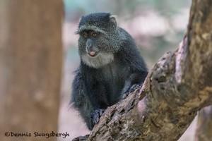 4730 Sykes Monkey (Cercopithecus albogularis), Tanzania