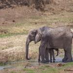 4731 Female and Baby, African Elephant (Loxodonta africana), Tanzania