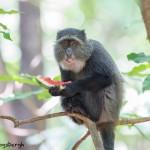 4732 Sykes Monkey (Cercopithecus albogularis), Tanzania