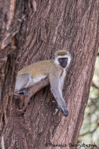 4733 Vervet Monkey (Chlorocebus pygerythrus), Tanzania
