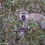 4734 Vervet Monkey (Chlorocebus pygerythrus), Tanzania