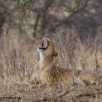 4735 Lioness, Tanzania