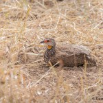 4737 Red-necked Francolin (Pternistis afer), Tanzania