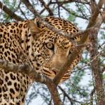 4739 Leopard, Tanzania
