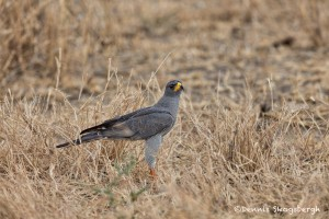 4743 Eastern (pale) Chanting Goshawk or Somali Chanting Goshawk (Melierax poliopterus), Tanzania