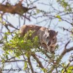 47454 Southern Tree Hyrax (Dassle) (Dendrohyrax-arboreus), Tanzania
