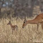 4746 Newborn (Just minutes old) Impala (Aepyceros-melampus), Tanzania