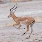 4747 Male Impala (Aepyceros melampus), Tanzania