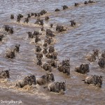 4750 Wildebeest Migration, Traversing the Mara River into Tanzania