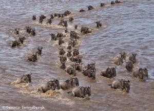 4750 Wildebeest Migration, Traversing the Mara River into Tanzania