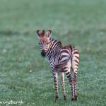 4751 Young Zebra, Tanzania