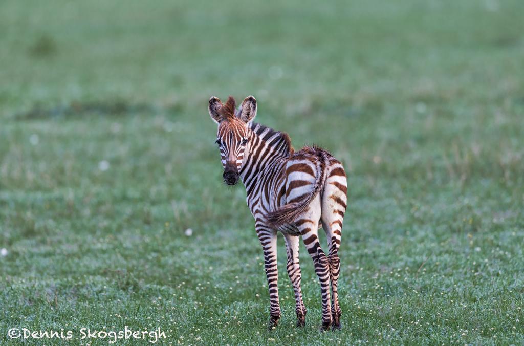 4751 Young Zebra, Tanzania - Dennis Skogsbergh ...